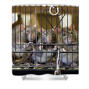 Domestic Rats At The Sutton Avian Shower Curtain