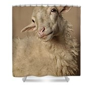 Domestic Sheep Shower Curtain