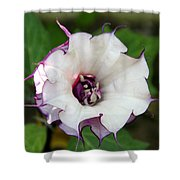 Double Purple Datura Shower Curtain