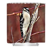 Downy Woodpecker 6 Shower Curtain