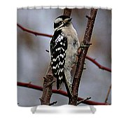 Downy Woodpecker 7 Shower Curtain
