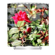 Dragon Fly Rose Bud  Shower Curtain