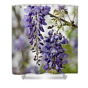 Draping Lavender Purple Wisteria Vines Shower Curtain