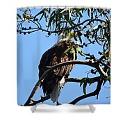 Eagle Under Cover Shower Curtain