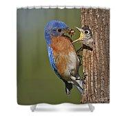 Eastern Bluebird Feeding Chick Shower Curtain