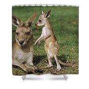 Eastern Grey Kangaroo And Joey Shower Curtain