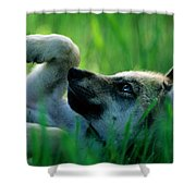Eight-week-old Captive Gray Wolf, Canis Shower Curtain