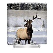 Elk Cervus Canadensis Bull Elk During Shower Curtain