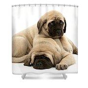 English Mastiff Puppies Shower Curtain