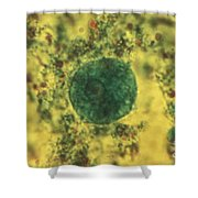 Entamoeba Coli Trophoite Lm Shower Curtain by Eric V. Grave