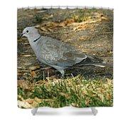 Eurasian Dove Shower Curtain