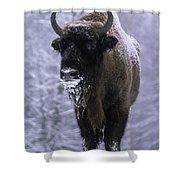 European Bison Bison Bonasus In Snow Shower Curtain
