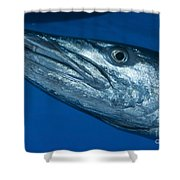 Facial View Of A Great Barracuda, Kimbe Shower Curtain