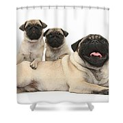 Fawn Pugs, Mother And Pups Shower Curtain