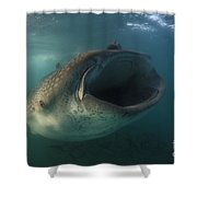 Feeding Whale Shark, La Paz, Mexico Shower Curtain