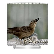Female Boat Tailed Grackle Shower Curtain