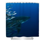 Female Great White Shark With A School Shower Curtain