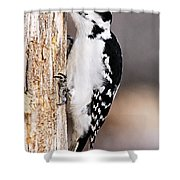 Female Hairy Woodpecker Shower Curtain