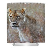 Female Lion Portrait Shower Curtain