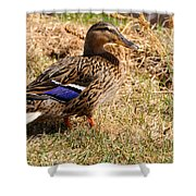 Female Mallard On A River Bank In Alaska Shower Curtain