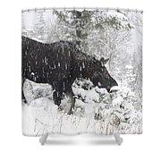 Female Moose In Snowy Forest, Gaspesie Shower Curtain