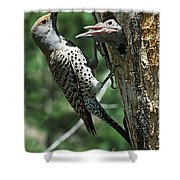 Female Northern Flicker Colaptes Shower Curtain