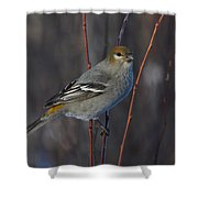 Female Pine Grosbeak Shower Curtain