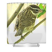 Female Red Breasted Grossbeak Shower Curtain