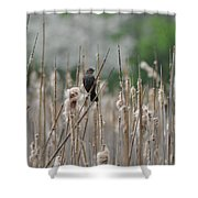 Female Redwinged Blackbird Shower Curtain
