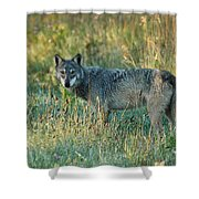 Femle Gray Wolf In The Morning Light Shower Curtain