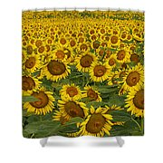 Field Of Domestic Sunflowers Shower Curtain by Kenneth M Highfill and Photo Researchers