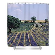Field Of Lavender. Sault. Vaucluse Shower Curtain