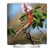 Finch In Lilac Bush Shower Curtain