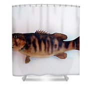 Fish Mount Set 11 A Shower Curtain