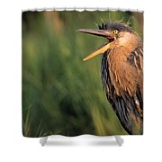 Fledgling Great Blue Heron Shower Curtain