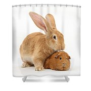 Flemish Giant Rabbit With Red Guinea Pig Shower Curtain