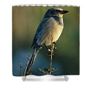 Florida Scrub Jay Aphelocama Shower Curtain