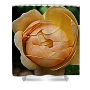 Fragrant English Rose Shower Curtain