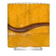 Freshwater Leech Hirudo Sp Shower Curtain
