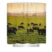 Friesian Cattle Cattle Grazing Shower Curtain