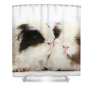 Frizzy Alpaca Guinea Pigs Shower Curtain