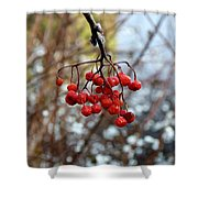 Frozen Mountain Ash Berries Shower Curtain