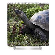 Galapagos Tortoise Inching Along Shower Curtain