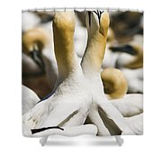 Gannets, Parc National De Shower Curtain by Yves Marcoux