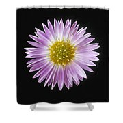 Gerber Daisy In Black Background Shower Curtain