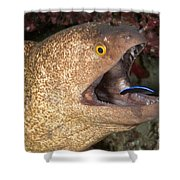 Giant Moray Eel And Cleaner Wrasse Shower Curtain