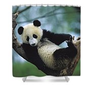 Giant Panda Cub Resting In A Tree Shower Curtain