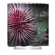 Giant Red Sea Urchin Shower Curtain