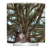 Giant Sequoias Shower Curtain
