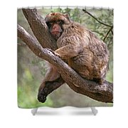 Gibraltar Barbary Macaque Shower Curtain